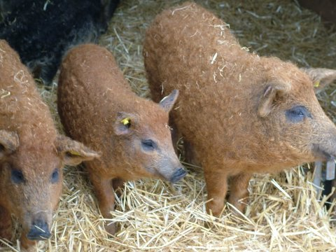 wool pigs