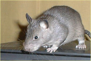 pouched rat