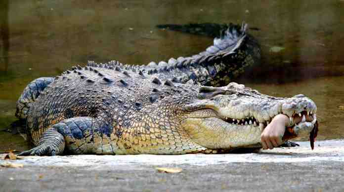 croc w/ hand
