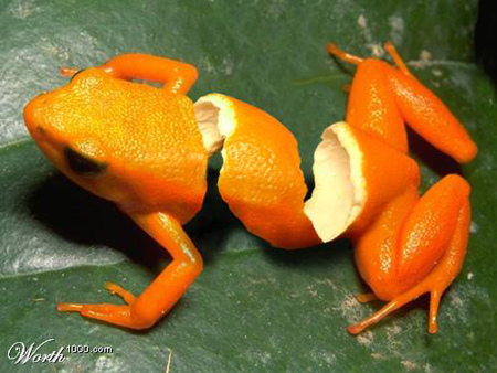 ornge frog