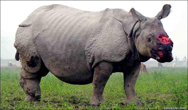shot rhinoceros