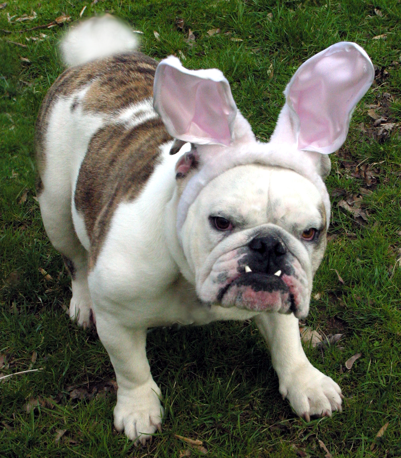 easter_bulldog