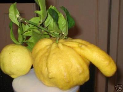 penis gourd