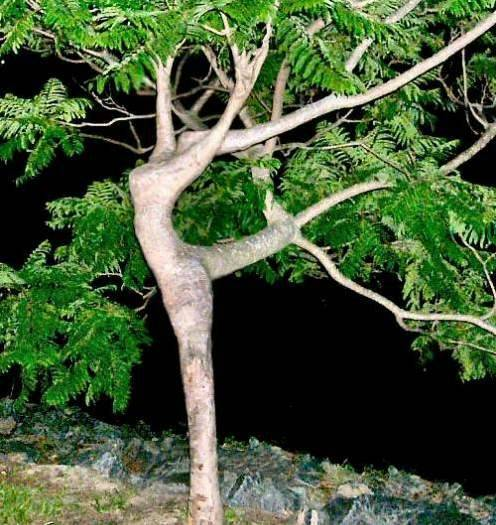 dancer tree