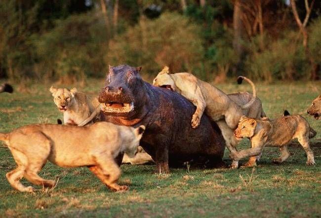 hippo kill