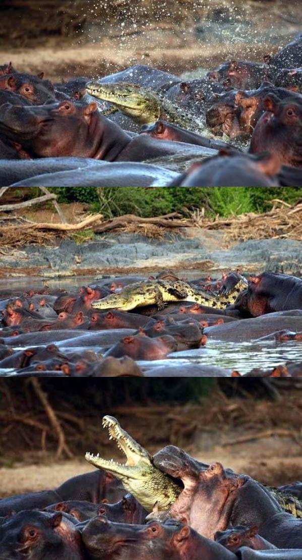 Croc vs Hippos