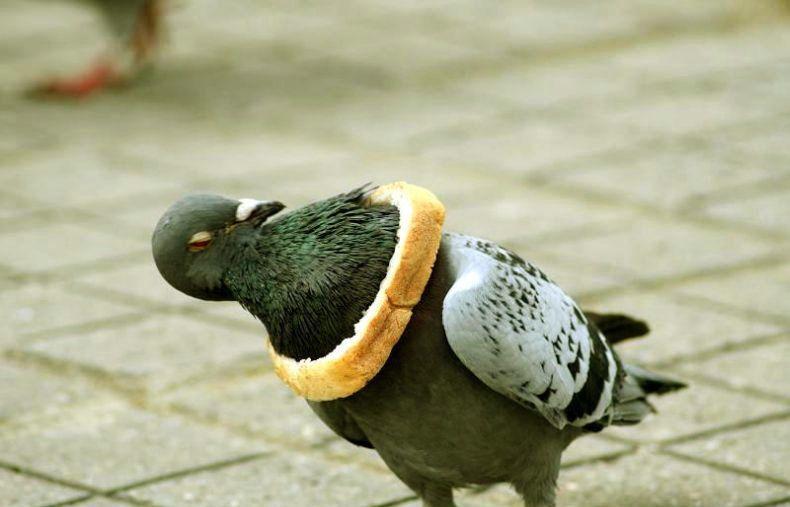 pigeon cruelty