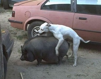 dog humps pig