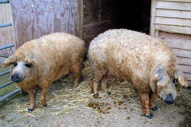 Furry pig3