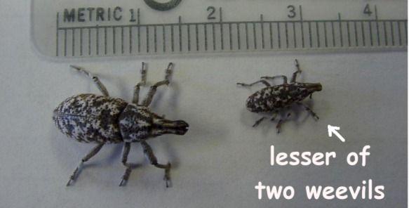 lesser weevil