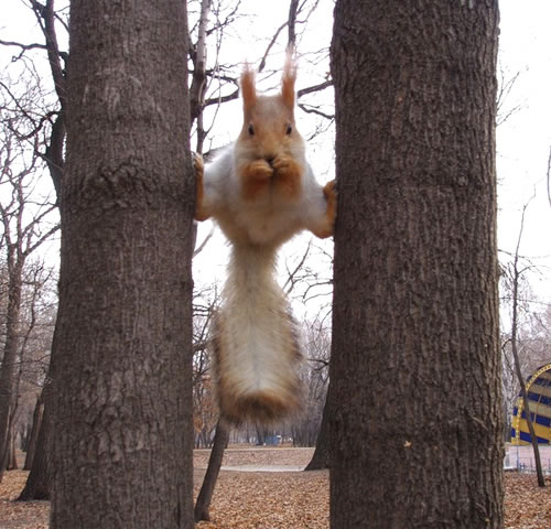 squirrel split