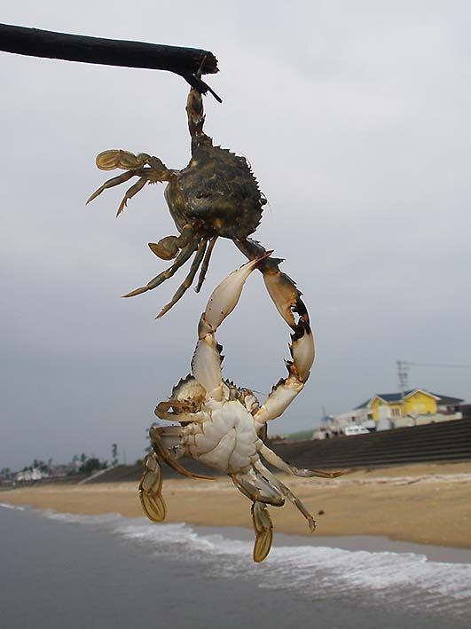 crab rescue