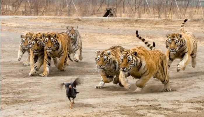 chicken tigers