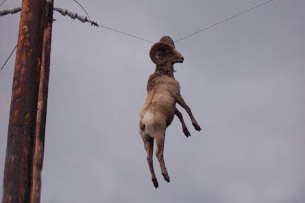 Hanging goat