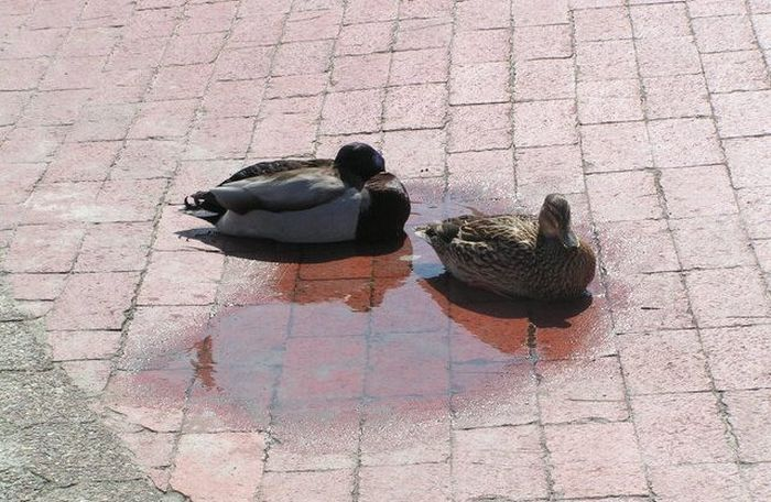 desparate-ducks