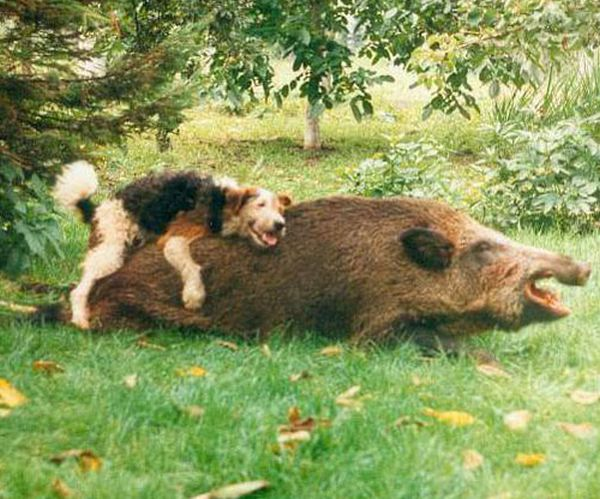 happy-dog-and-wild-boar