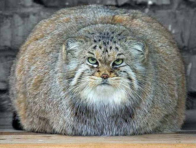 fat-cat