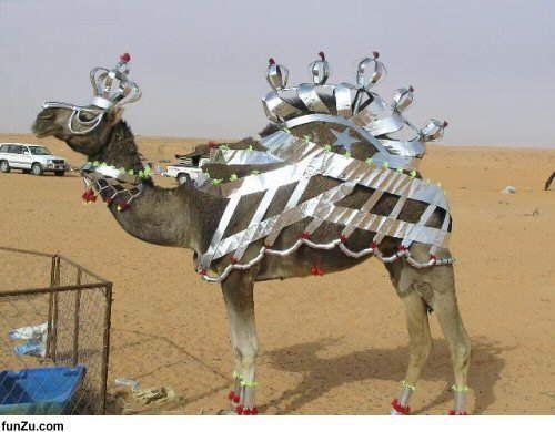 pimped camel