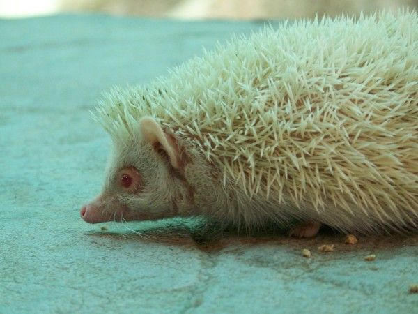 albino_02hedgehog