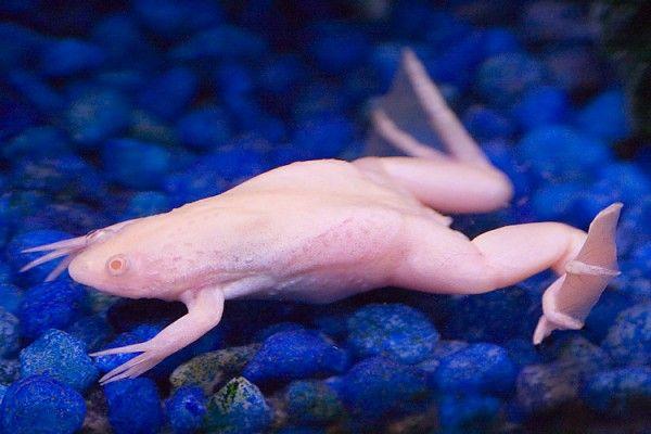 albino_06frog