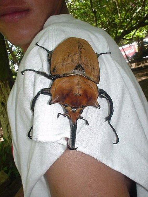 big beetle.jpg