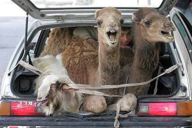 camel car.jpg