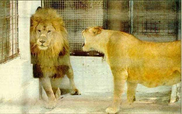 Evolucija  jedne veze Lion-love2
