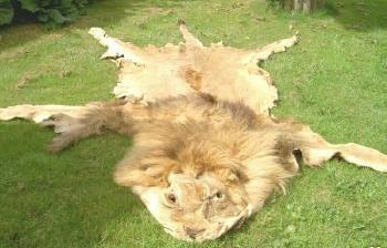 Evolucija  jedne veze Lion-love3