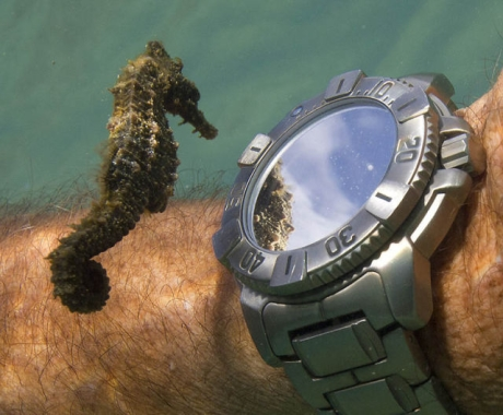 A_Seahorse_Inspects_A_Divers_Watch.jpg
